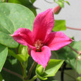 Clematis texensis クレマチス(テキセンシス系)