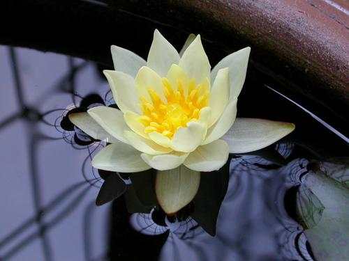 Water lily スイレン(温帯性ヒメスイレン)
