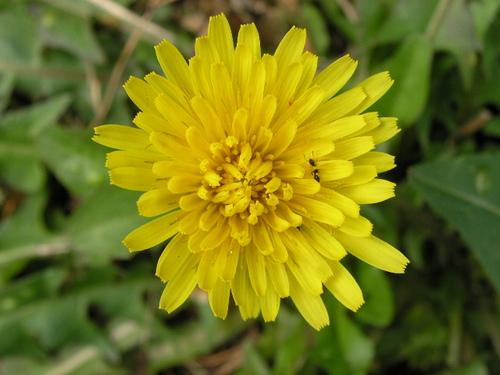 Dandelion タンポポ(セイヨウタンポポ)