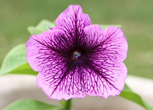 Petunia ペチュニア