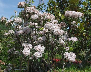 カルミアの花 2019.05.26 静岡市葵区城北公園